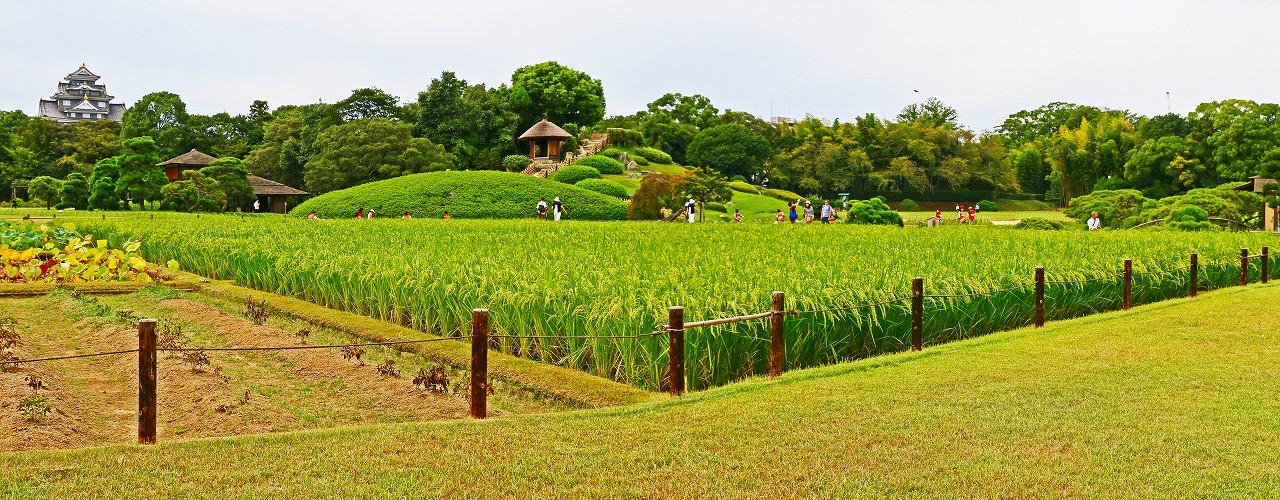 20170904 後楽園今日の園内茶畑側から眺めた井田の稲穂の様子ワイド風景 (1)