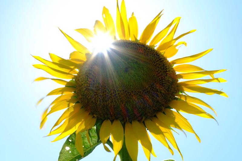 恋しい太陽