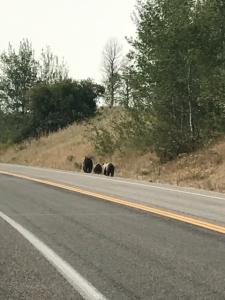 米国ティトン国立公園内 クマの親