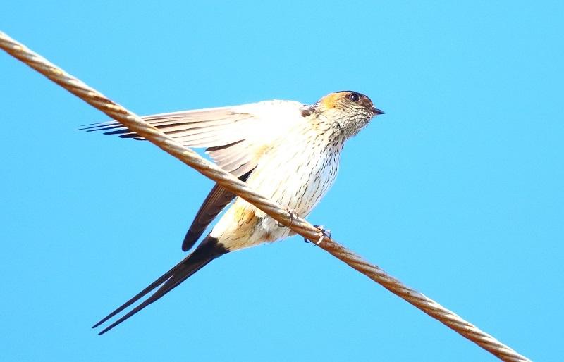 腰赤燕7159-5
