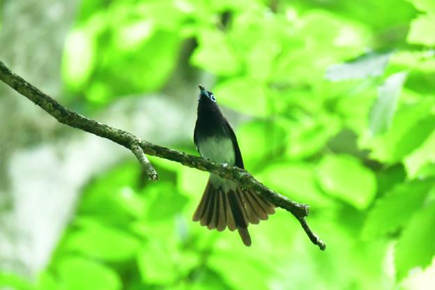 尾羽を広げるサンコウチョウ♂(尾短)