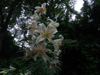 三ツ池 百合の花