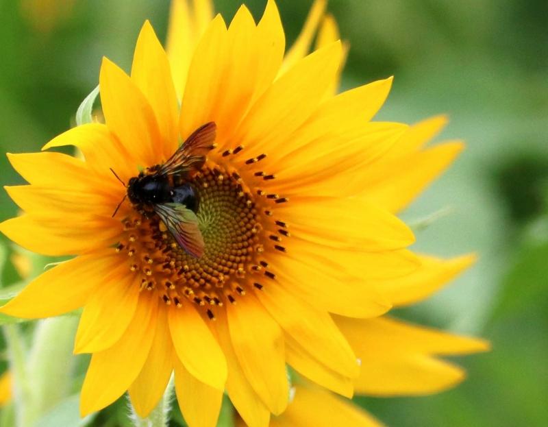 ひまわりと蜂1