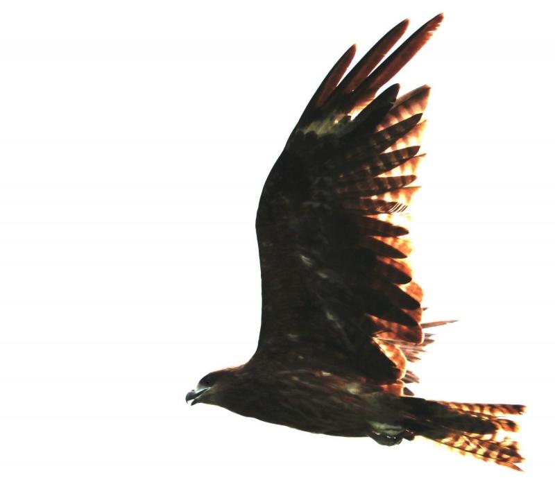 飛ぶ猛禽①