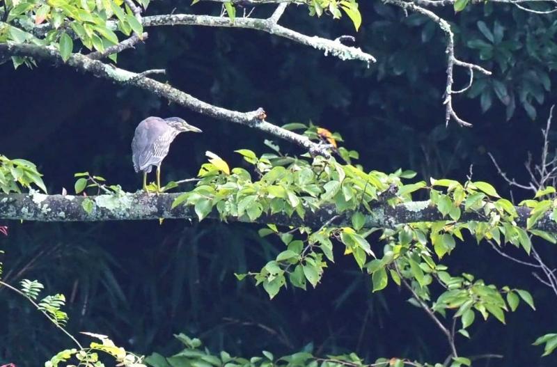 ササゴイ幼鳥1