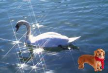 白鳥犬-2