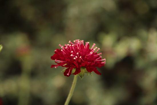 スカビオサ 赤1
