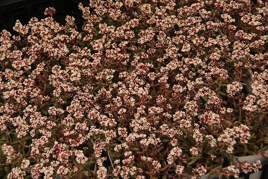 クラッスラ 白花