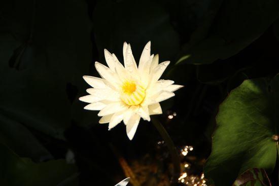熱帯睡蓮2