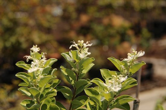 ハマゴウ 白花1