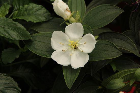 ノボタン 白花