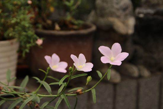原種ハイビスカス ロバツ1