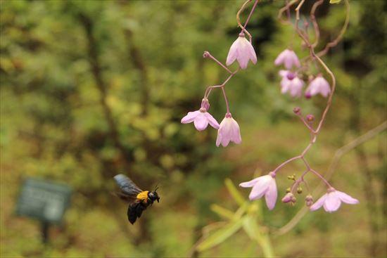 キムネクマバチ1