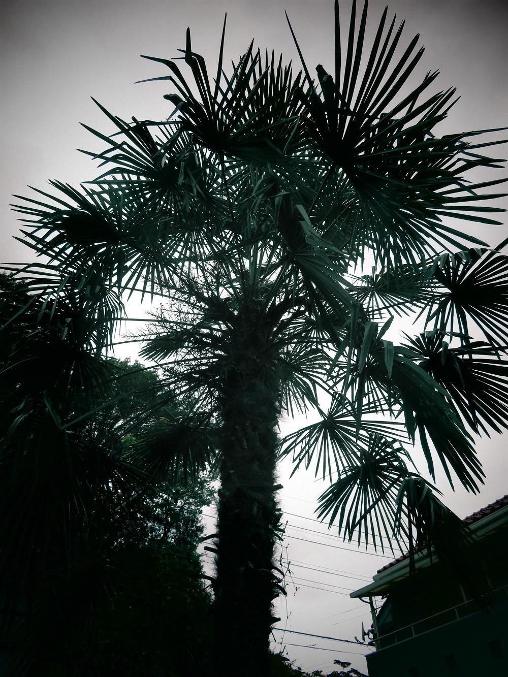 1棕櫚IMG_1972