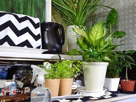 観葉植物 鉢が小さいので植え替えです  1