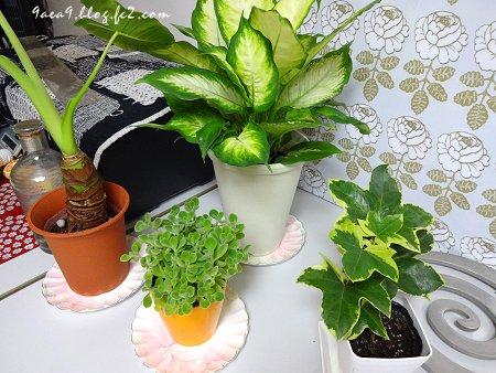 観葉植物 鉢が小さいので植え替えです  2