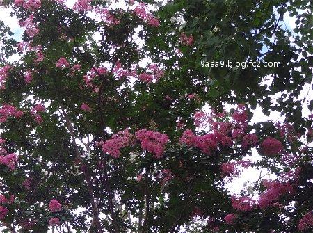 夏に咲く花 サルスベリ