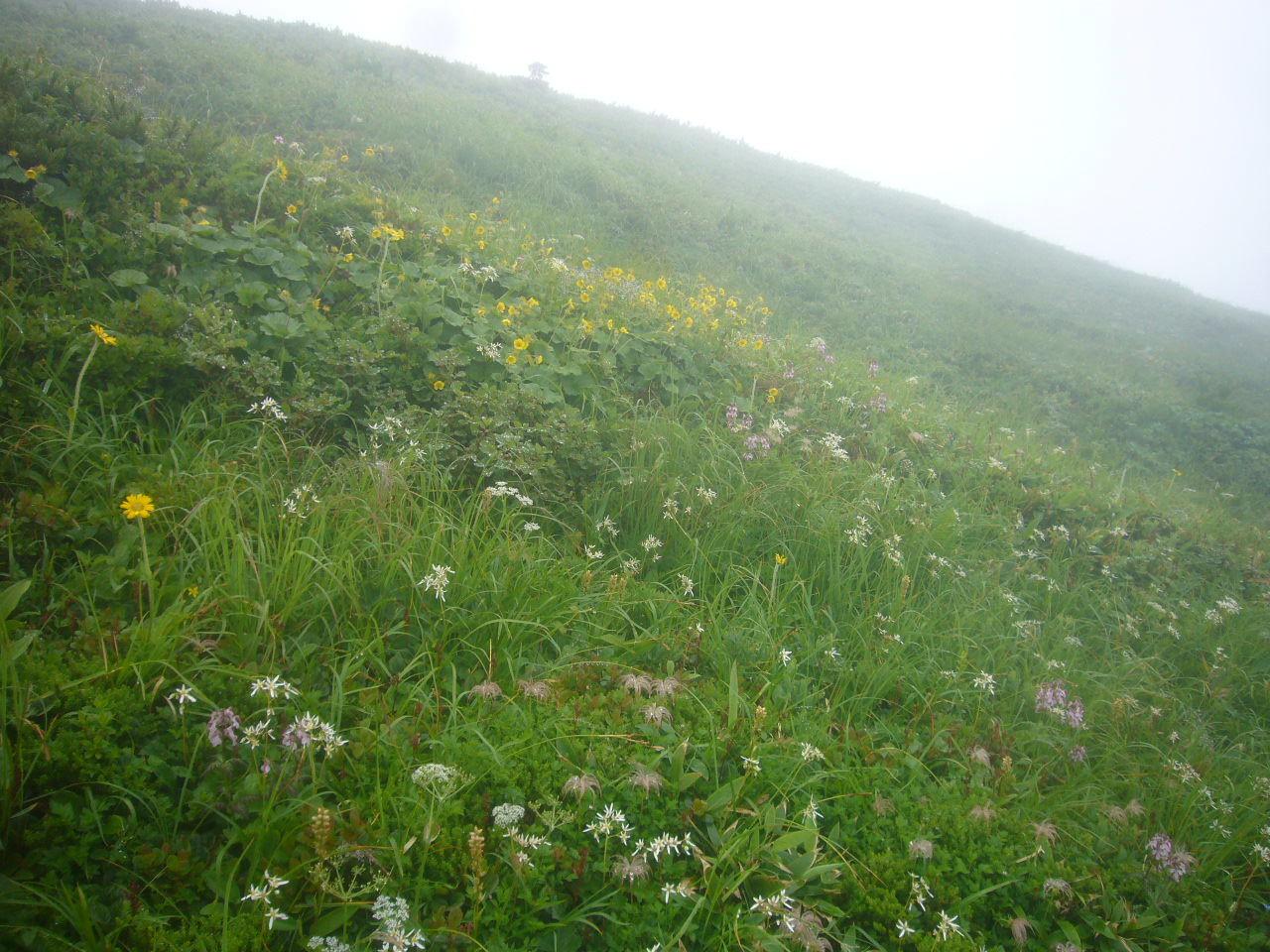 別山稜線のお花畑 H29.8.03
