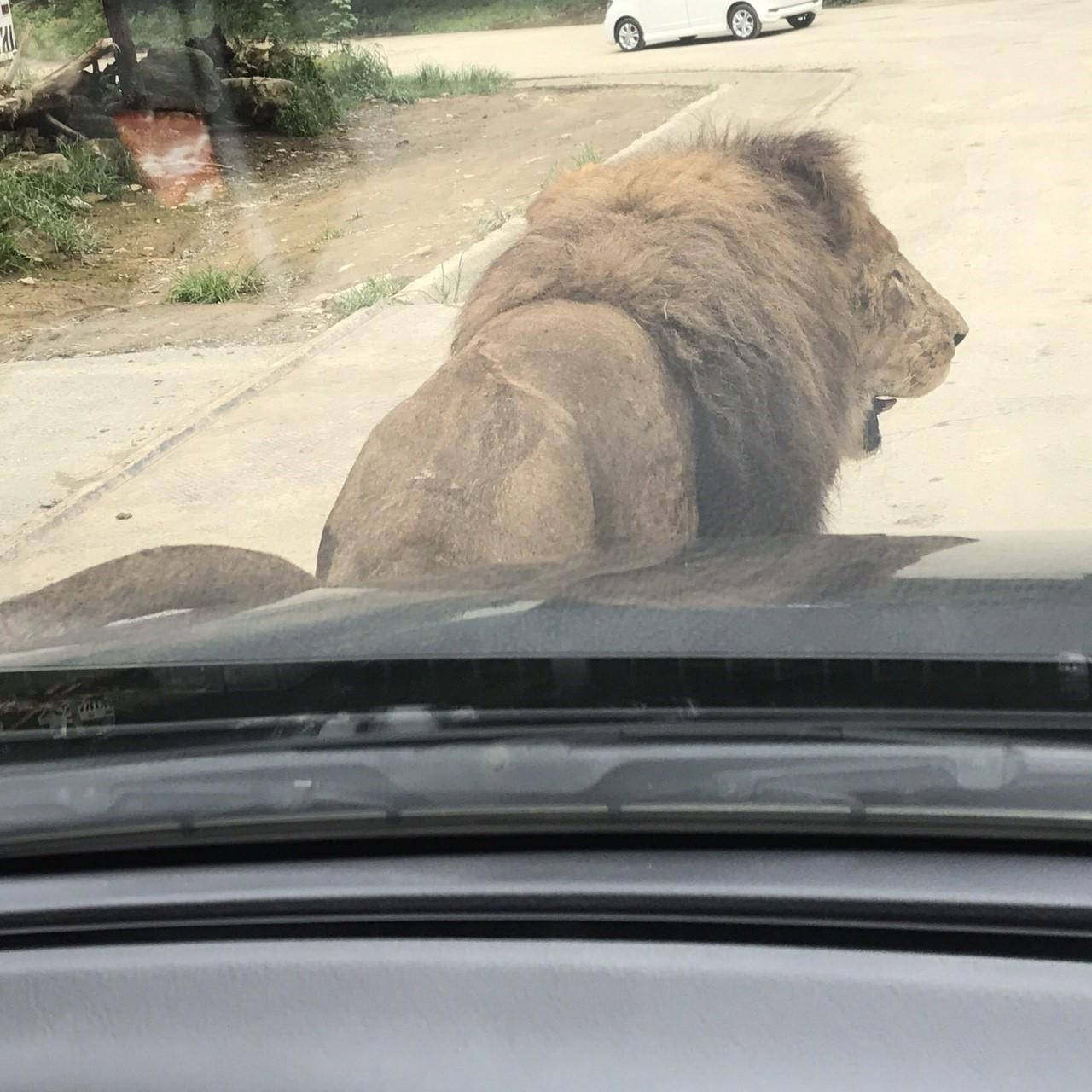 ライオンのスリスリ
