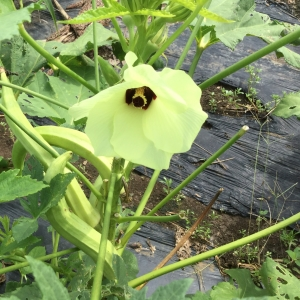 白オクラ花