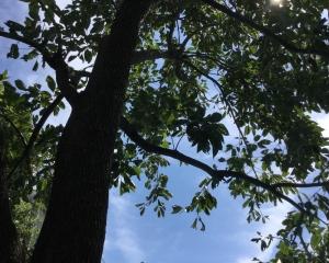 柿の木越しの青空