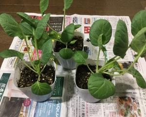 芽キャベツの苗