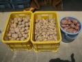 H29.7.31ジャガイモ収穫③(15.11.5K)@IMG_0248