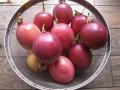H29.8.4パッションフルーツの実収穫①(14P)@IMG_0277