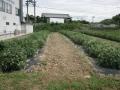 H29.8.8ピンク花ローゼル台風5号被害(No.1畑)@IMG_0287