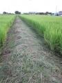 H29.8.9あいちのかおり出穂前の畦の草刈り(3e.560m)@IMG_0311