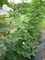 H29.8.12四角豆の花@IMG_0315