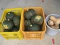 H29.8.23カボチャ収穫②(20.6P)@IMG_0376