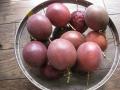 H29.9.3パッションフルーツの実収穫④(14P)@IMG_0495