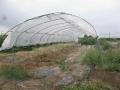 H29.9.6トマトの雨除け棚撤去中@IMG_0519