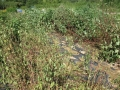 H29.9.18各種ローゼル畑被害@IMG_0617