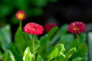 daisy-red.jpg