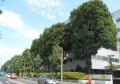 防火樹となったスタジイの木