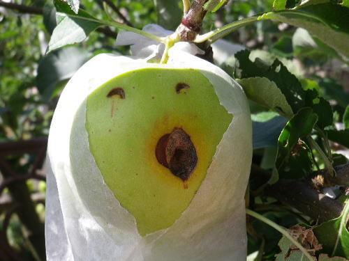 りんごの叫び 2017 8 13-1