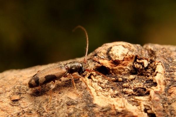 フタモンアラゲカミキリs (2)