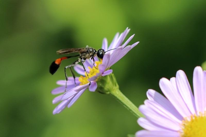 ヤマジガバチs