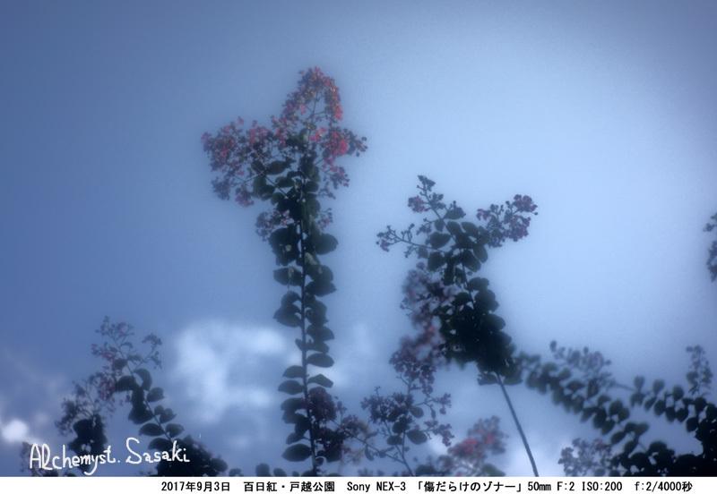 百日紅DSC02897