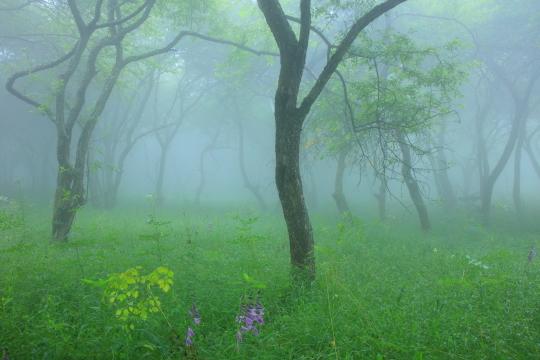 霧に霞む木立