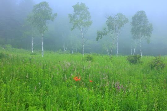 霧に霞む白樺とお花畑