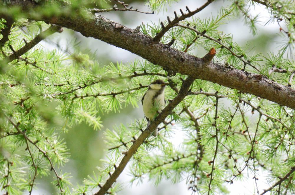 シジュウカラ幼鳥DSC_2577