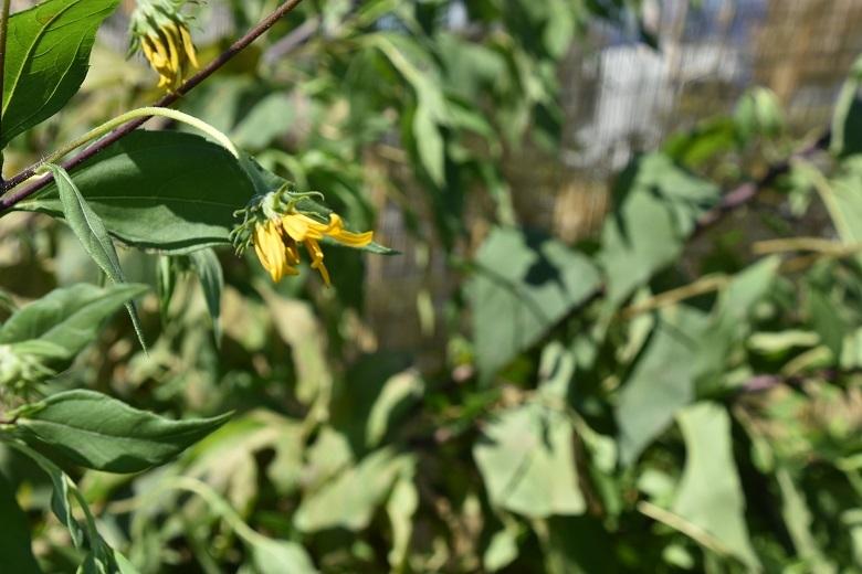 011 菊芋の花