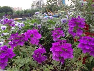 紫の花も綺麗ですが