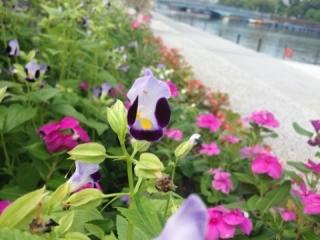 トコダン夏の花