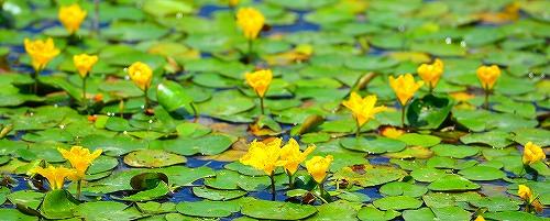 水辺の花②