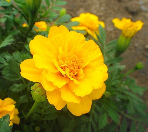s-黄色の花20170719