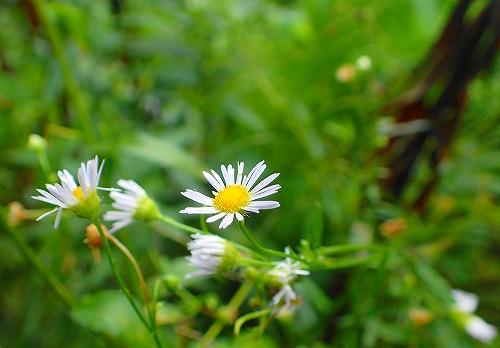 s-白い花20170902